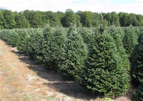 fraser fir wholesale christmas trees
