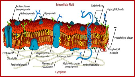 diagram of a section of a cell membrane plant cell membrane