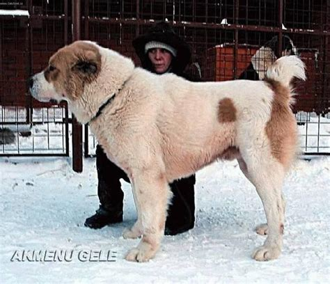 central asian shepherd puppies central asian shepherd history personality appearance health and pictures