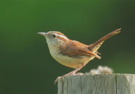 carolina wren the biggest animals kingdom