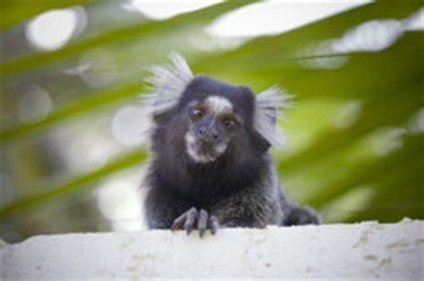 Wo Kann Baby Affen Kaufen 4725 by Kann Baby Affen Kaufen