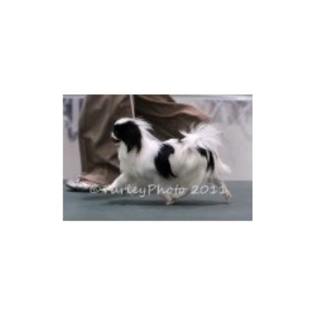 puppies butler pa six gems japanese chin breeder in butler pennsylvania