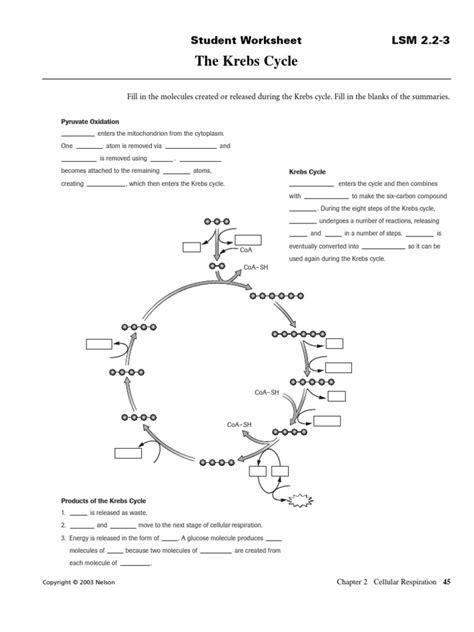 Cycle Of A Worksheet by Krebs Cycle Worksheet Free Worksheets Library