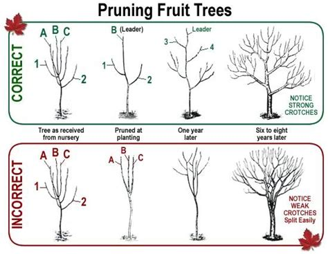 pruning fruit tree don t be afraid to heavily prune your fruit trees