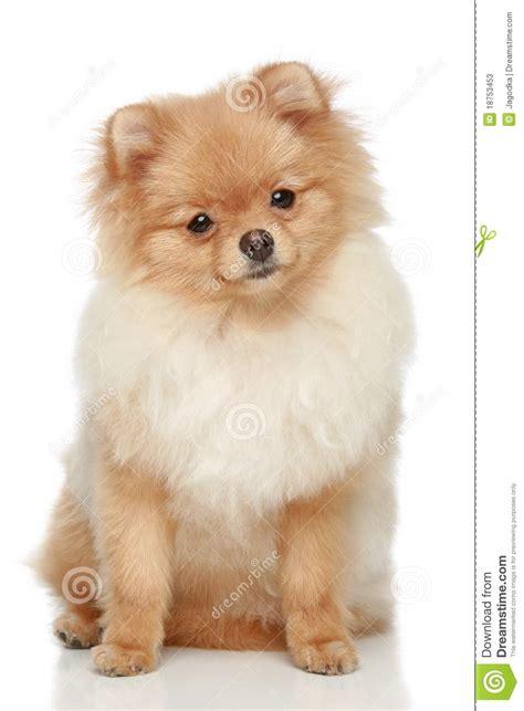 pomeranian spitz white pomeranian spitz puppy on a white background stock photos image 18753453