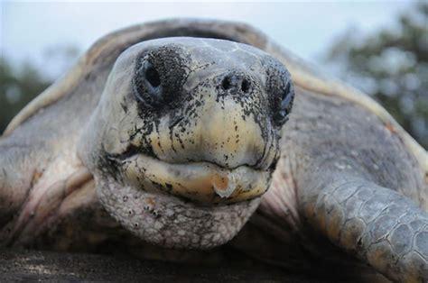 tortuga lora peligro de extincion nombre cientifico  mas