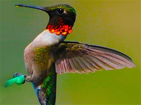 hummingbirds will arrive soon cornwall ontario our
