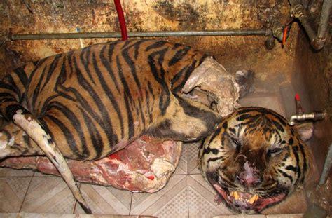 dead tigers   boot  speeding car  vietnam warning graphic images