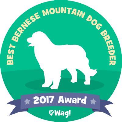 bernese mountain puppies mn swiss destiny bernese mountain dogs breeders puppies for sale stud service