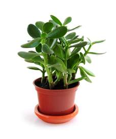 jade plants how to plant grow and care for jade plants the old farmer s almanac
