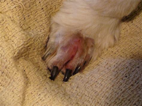 swollen paw on danger in the desert call it kismet