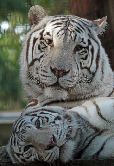 witte tijger ouwehands img 0488 safi kok flickr