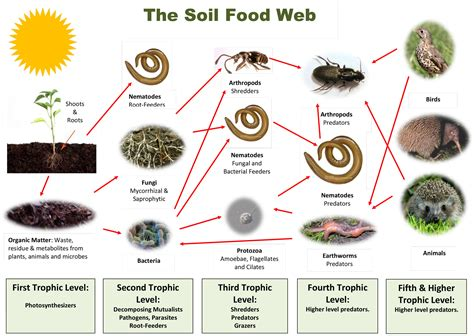 soil food web diagram what makes a healthy soil foodweb web soil food web