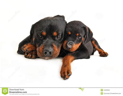 rottweiler and baby baby rottweiler and his stock images image 12303364