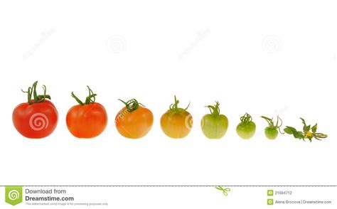 Tomaten Gr N Ernten 5608 by Entwicklung Der Roten Tomate Getrennt Auf Wei 223 Em Backgrou