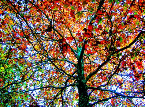 colorful tree pine forest colorful tree every year i try to post a