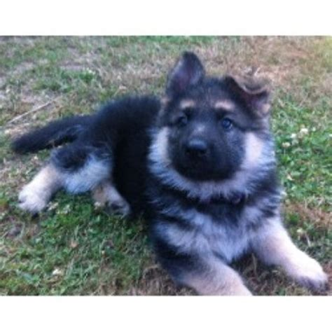 german shepherd puppies for sale oregon german shepherd puppies for sale at kennel in new york german breeds picture