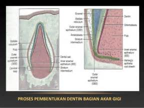 Proses Pemutihan Gigi proses tumbuh kembang gigi