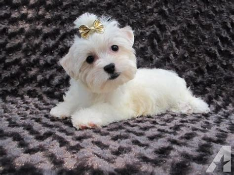 all white yorkie all white akc reg terrier yorkie puppy for sale in westborough