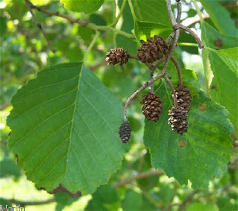 fruit d aulne fruit d aulne