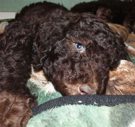 labradoodle puppies for sale oregon f1b labradoodle puppies for sale in washington summer 2014 aussiedoodle and