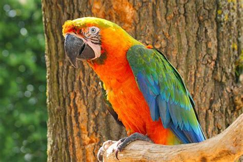 big colorful bird macaw facts care as pets behavior health
