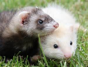 History the domestic ferret has an amazing history with man