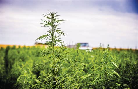Country Livingroom america s hemp cbd crop arrives cannabis now