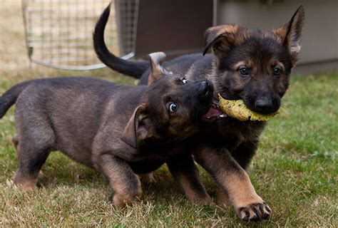 k9 puppies for sale german shepherd working line breeders vom banach k9