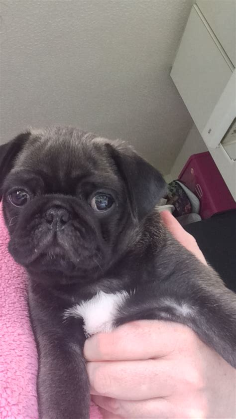 platinum pug puppies for sale beautiful platinum and black pug puppies for sale stockport greater manchester