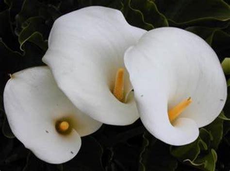 pianta con fiori bianchi tipo calla mondocdp cdp citelli anestesia