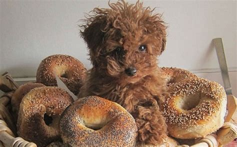 bagel puppy 18 signs your small thinks it s ruler of the house barkpost