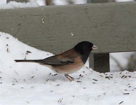 common birds to visit your feeder naturally north idaho