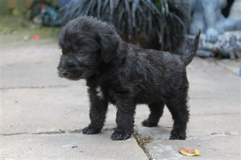 bedlington terrier puppies for sale beautiful bedlington terrier for sale sittingbourne kent pets4homes