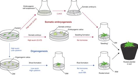 embryogenesis pattern formation from a single cell fig 1 somatic embryogenesis versus shoot regeneration