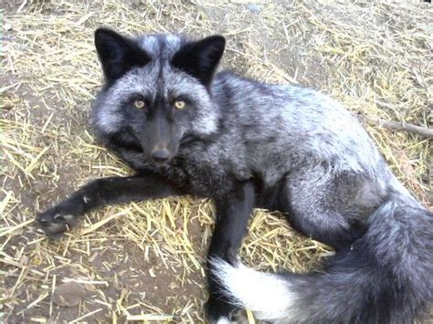 domesticated silver fox domesticated fox etc pinterest