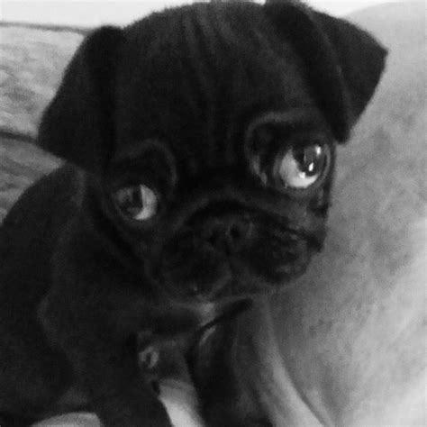 baby pugs for sale in colorado black baby pug for sale west pets4homes