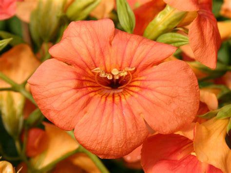 Obst Und Garten 5172 by Trompetenblume Grandiflora Csis Grandiflora