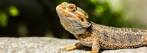 Shopping For Home Decor by Bearded Dragon Supplies Amp Accessories Checklist Petsmart