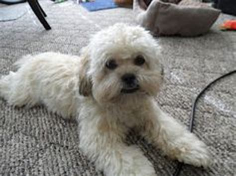 shih poo haircut pictures google search pooch shih poo haircut pictures google search dog ideas