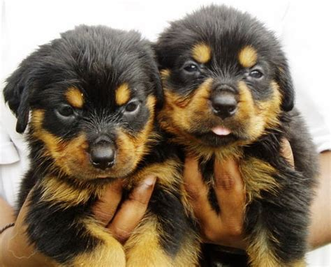 rottweiler puppies malaysia rottweiler puppy for sale in malaysia breeds picture