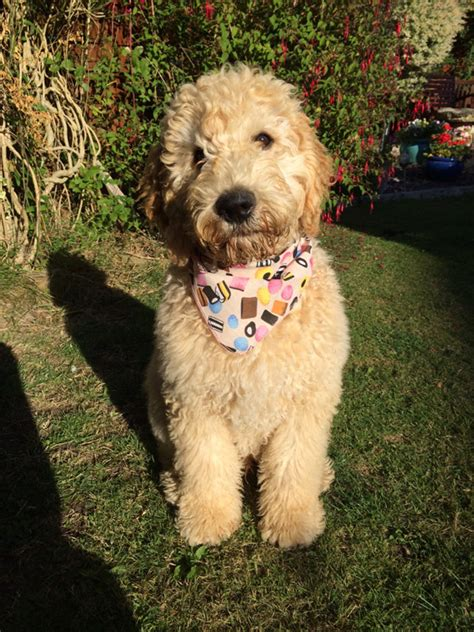 ultimate doodle puppy the ultimate doodle puppy bandana