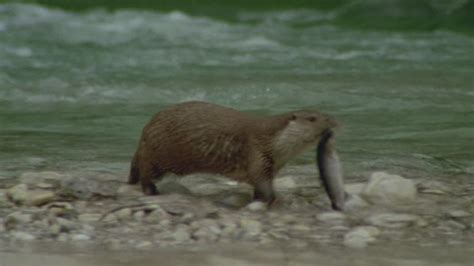 ghiaia di fiume lutra ricerca cibo preda fiume austria rm