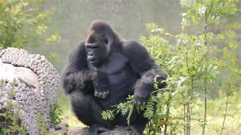 Western Lowland Gorilla Photographic Compilation @ Port ...