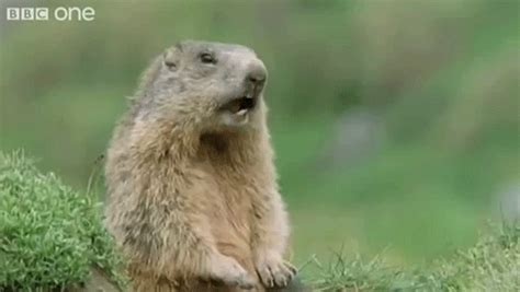 groundhog day gif gopher gifs find on giphy