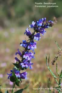 Kentucky State Flower Pictures - us wildflower s database of blue wildflowers for montana
