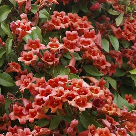 Plante Grimpante Qui Pousse Vite by Plante Grimpante Vivace Liste Ooreka