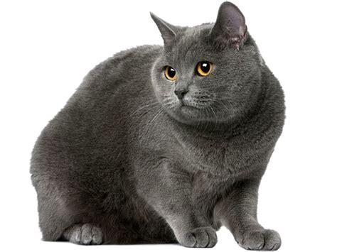 gatti persiani grigi certosino razze dei gatti