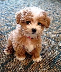 puppy and top 5 breeds that don t shed