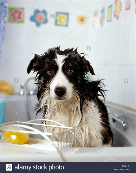 dog in a bathtub video wet dog in bath stock photo royalty free image 344093 alamy